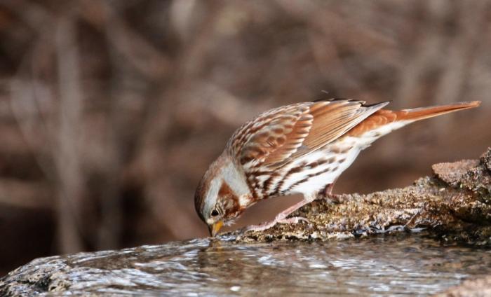 Fox Sparrow (3)1280x777] 04