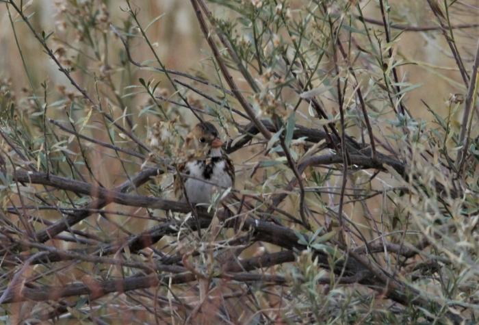 Harris's Sparrow (1)1280x870] 10