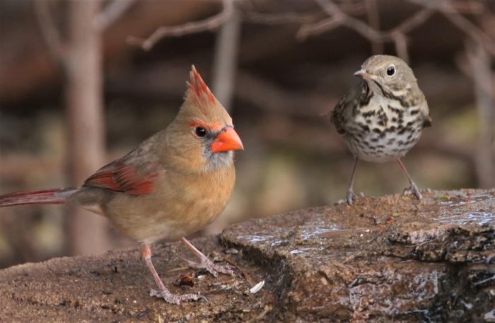 Northern Cardinal (2)1280x836] 06