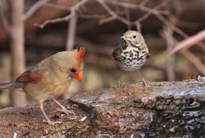 Northern Cardinal (3)1280x863] 07