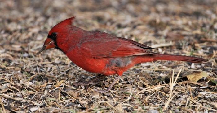 Northern Cardinal (5)1280x665] 09