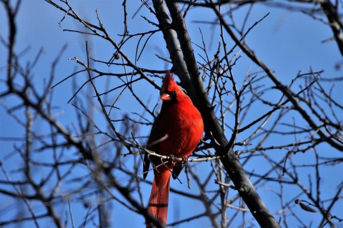 Northern Cardinal (7)1280x853] 11