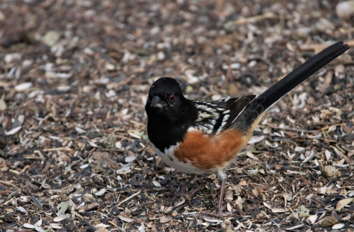 Spotted Towhee (2)1280x839] 13