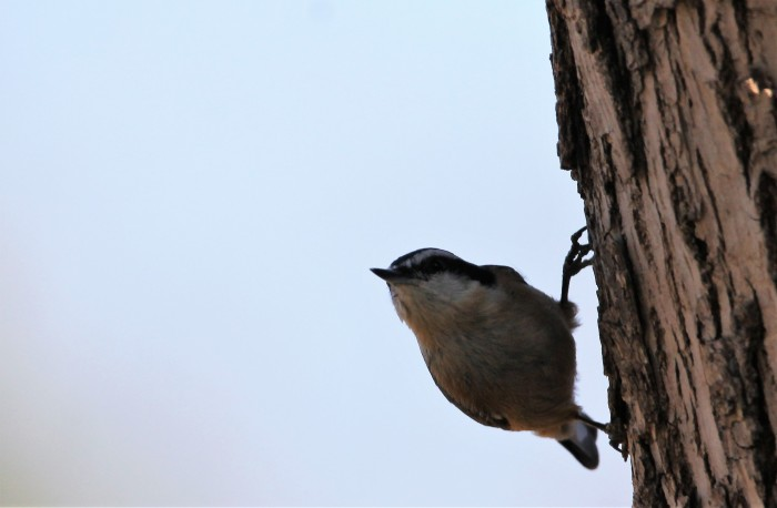 Red-breasted Nuthatch (3)