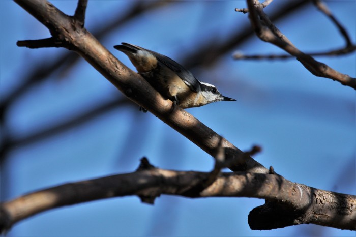 Red-breasted Nuthatch (4)