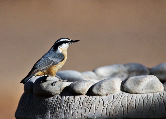 Red-breasted Nuthatch (5)