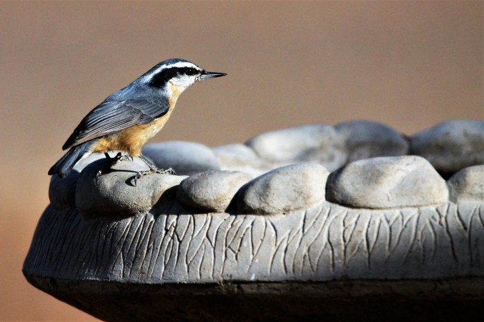 Red-breasted Nuthatch (6)