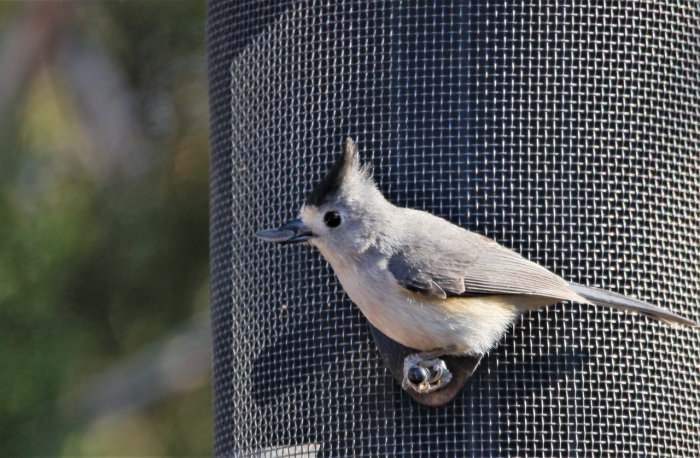 Black-crested Titmouse (7)1280x838] 13