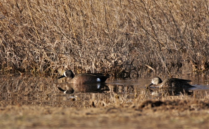 Blue-winged Teal1280x791] 14