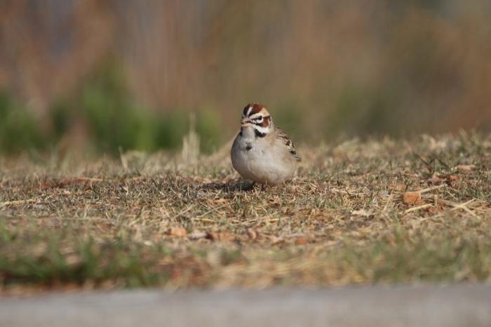 Lark Sparrow (1)1280x853] 24