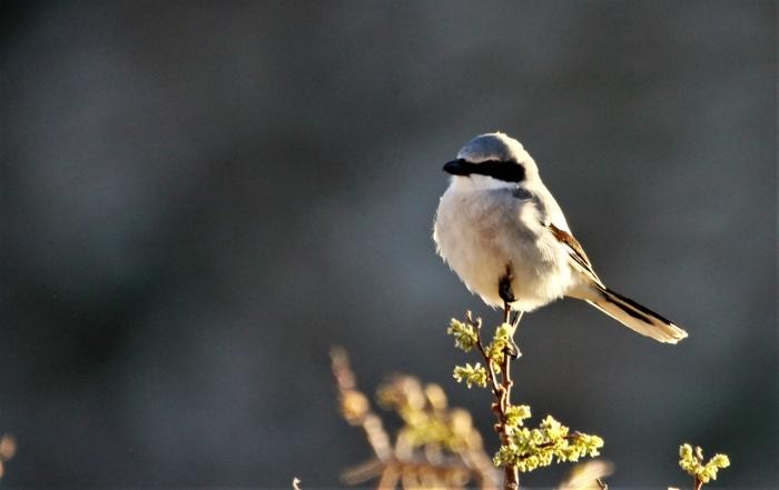 Loggerhead Shrike (1)1280x808] 29