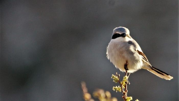 Loggerhead Shrike (2)1280x724] 30