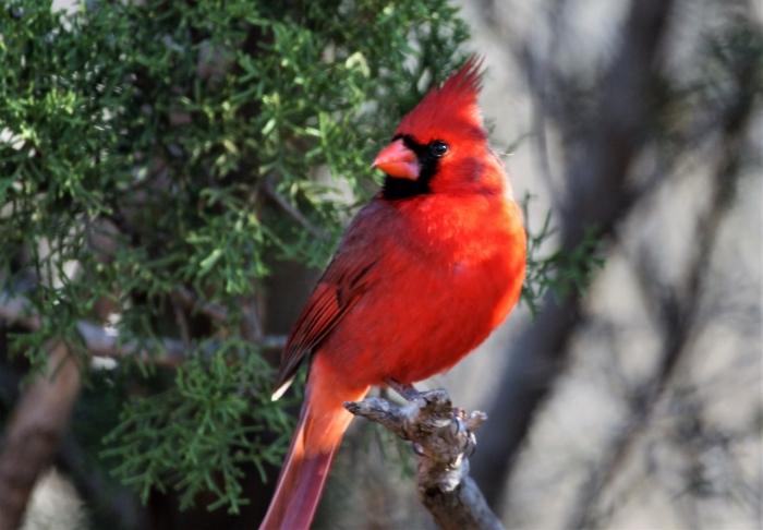 Northern Cardinal (10)1280x890] 36