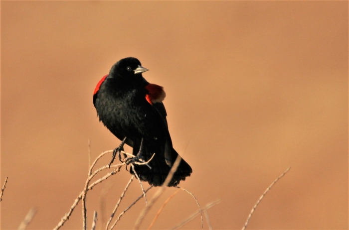 Red-winged Blackbird (1)1280x845] 41