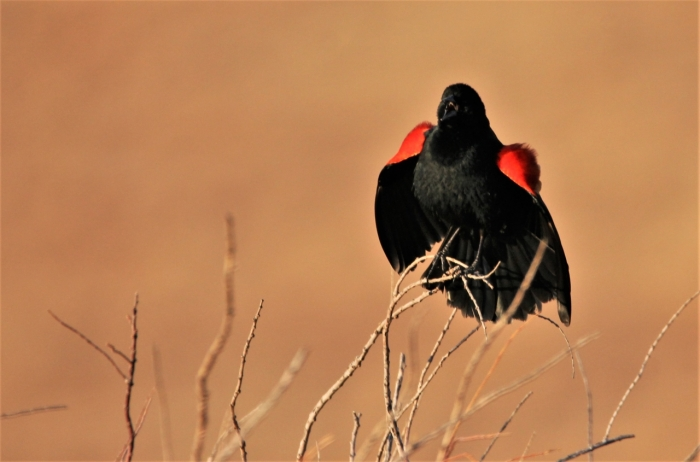 Red-winged Blackbird (2)1280x845] 42