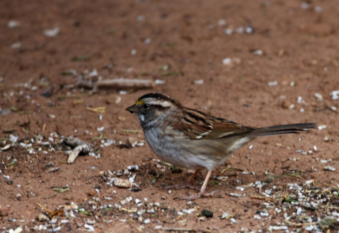 White-throated Sparrow (9)1280x878] 55