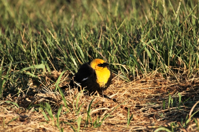 Yellow-headed Blackbird (2)1280x853] 58