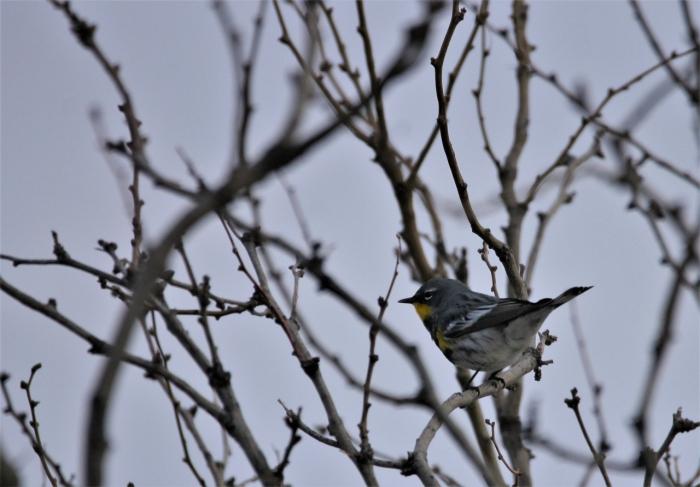 Yellow-rumped Warbler (Audubon's) (5)1280x892] 63