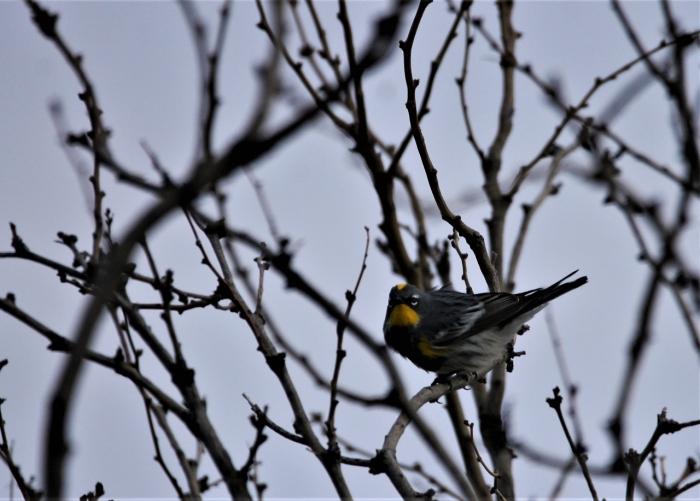 Yellow-rumped Warbler (Audubon's) (6)1280x917] 64