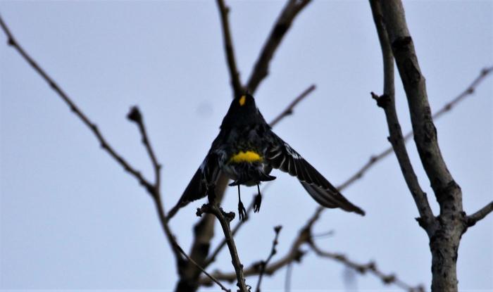 Yellow-rumped Warlber (Myrtle) (3)1280x760] 67