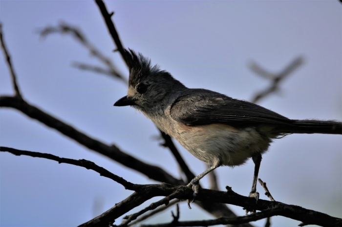 Black-crested Titmouse (9)1280x853] 01