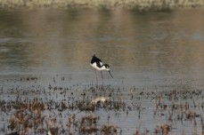 Black-necked Stilt (13)1280x853] 07