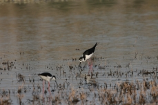 Black-necked Stilt (15)1280x853] 09