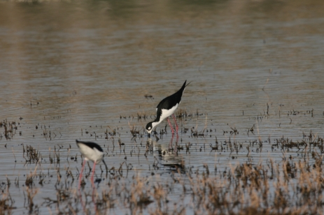 Black-necked Stilt (16)1280x853] 10