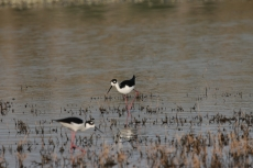 Black-necked Stilt (18)1280x853] 12