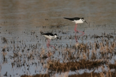 Black-necked Stilt (22)1280x853] 16