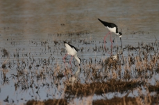 Black-necked Stilt (23)1280x853] 17
