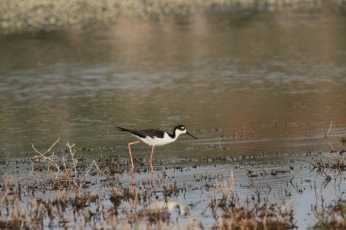 Black-necked Stilt (25)1280x853] 19