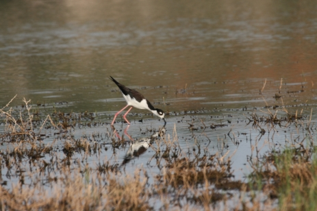Black-necked Stilt (28)1280x853] 22