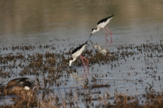 Black-necked Stilt (35)1280x853] 29