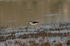 Black-necked Stilt (43)1280x853] 37