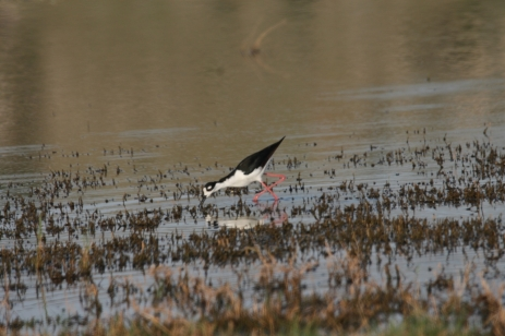 Black-necked Stilt (45)1280x853] 39