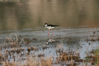 Black-necked Stilt (48)1280x853] 42