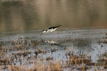 Black-necked Stilt (49)1280x853] 43