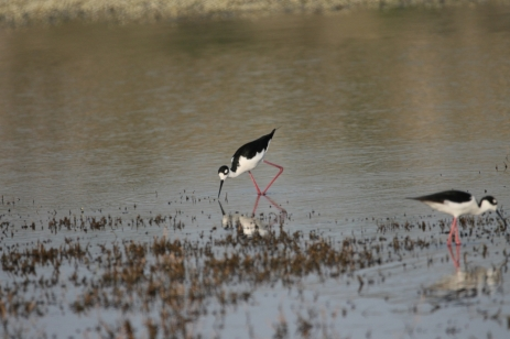 Black-necked Stilt (7)1280x853] 01