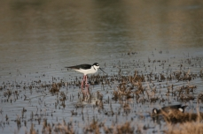 Black-necked Stilt (8)1280x853] 02