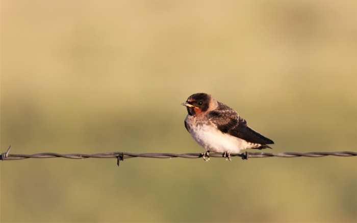 Cliff Swallows (1)1280x803] 02