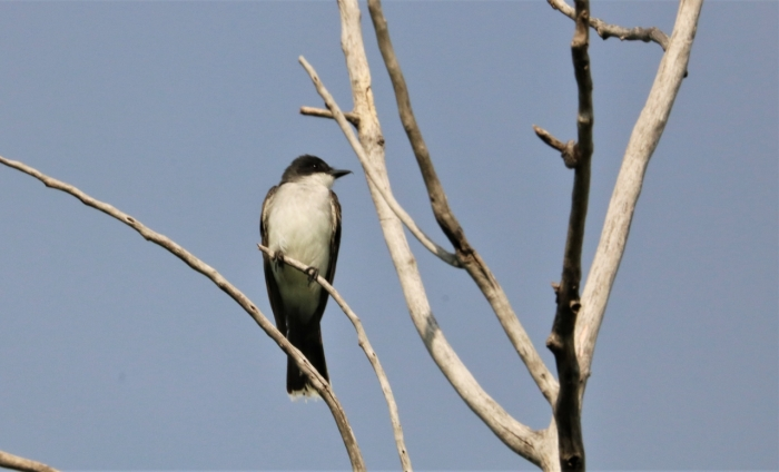 Eastern Kingbird (5)1280x777] 01
