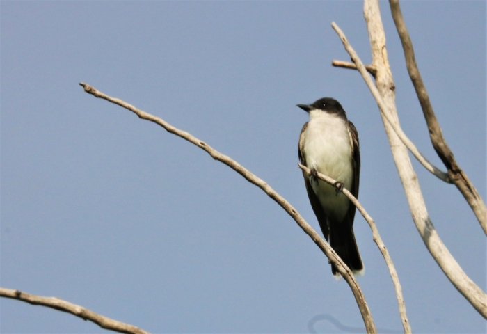 Eastern Kingbird (7)1280x879] 03
