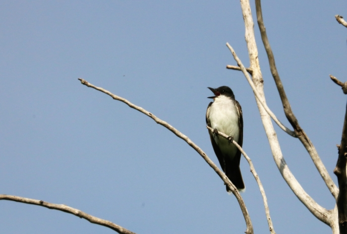 Eastern Kingbird (8)1280x863] 04