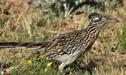Greater Roadrunner (70)1280x768] 52