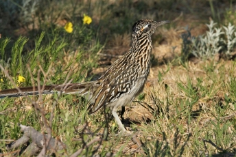 Greater Roadrunner (72)1280x858] 54