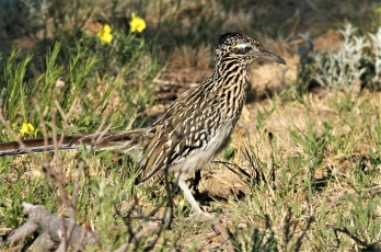 Greater Roadrunner (73)1280x847] 55