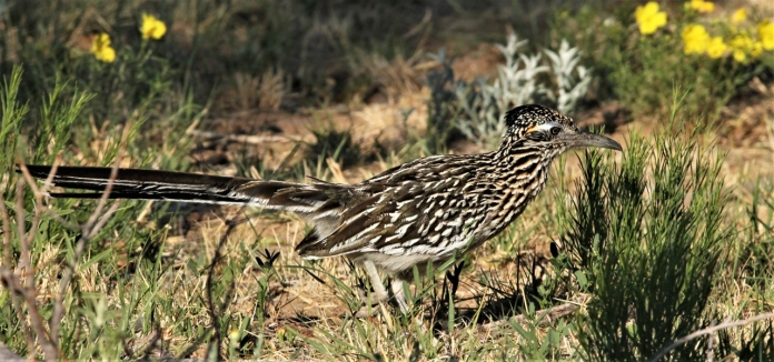 Greater Roadrunner (74)1280x601] 56