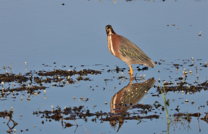 Green Heron (9)1280x826] 11