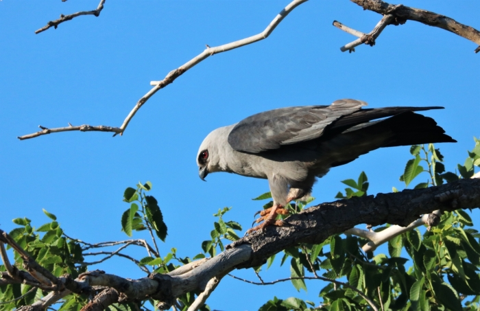 Mississippi Kite (10)1280x829] 23